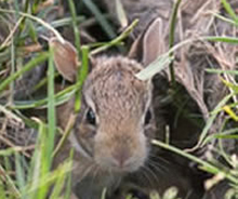 Backyard wildlife tips: baby rabbits