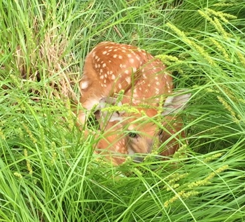 Backyard wildlife tips:  deer fawns